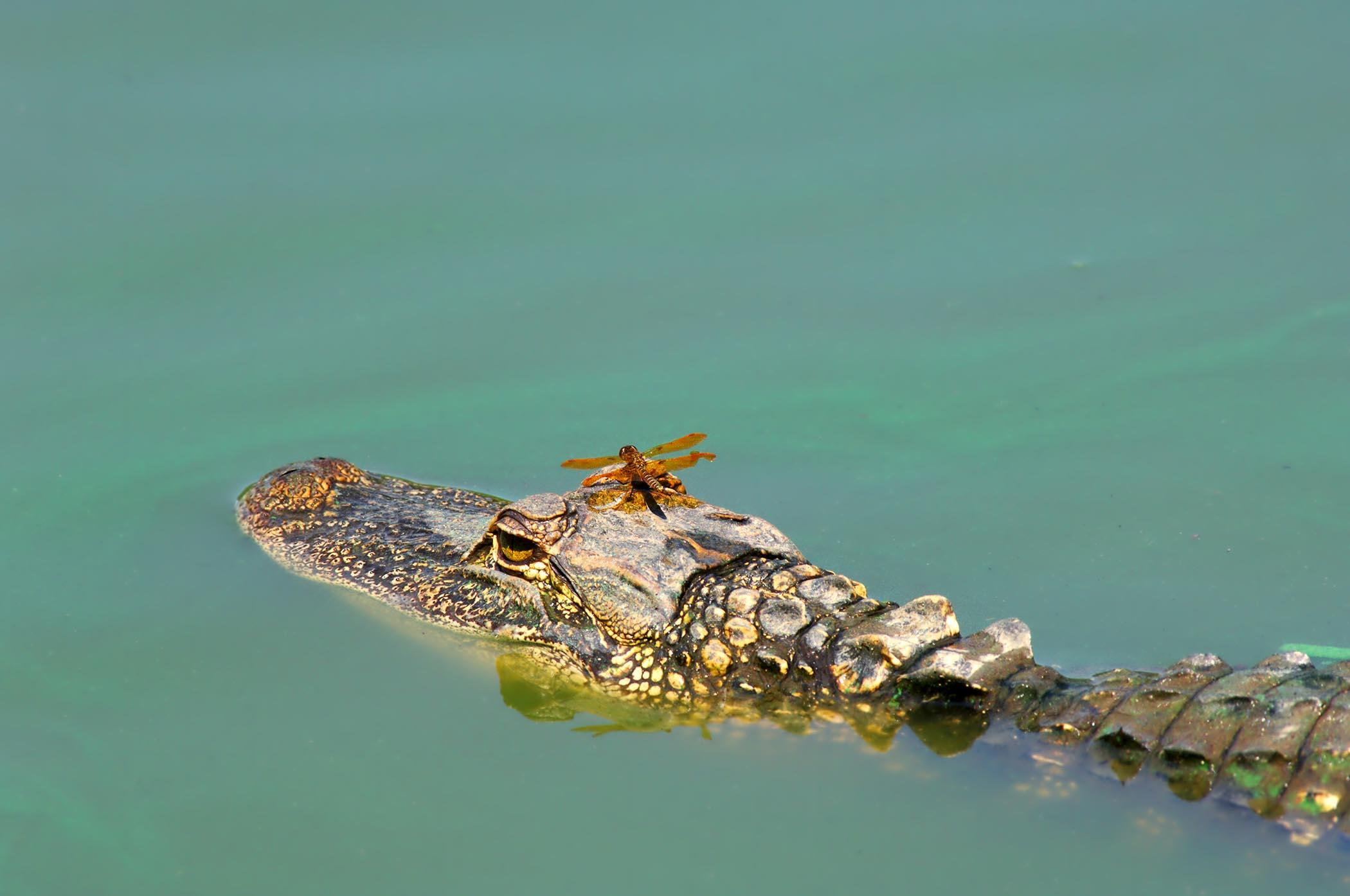 Dragonfly On Alligator